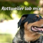 Rottweiler lab mix – Labrottie