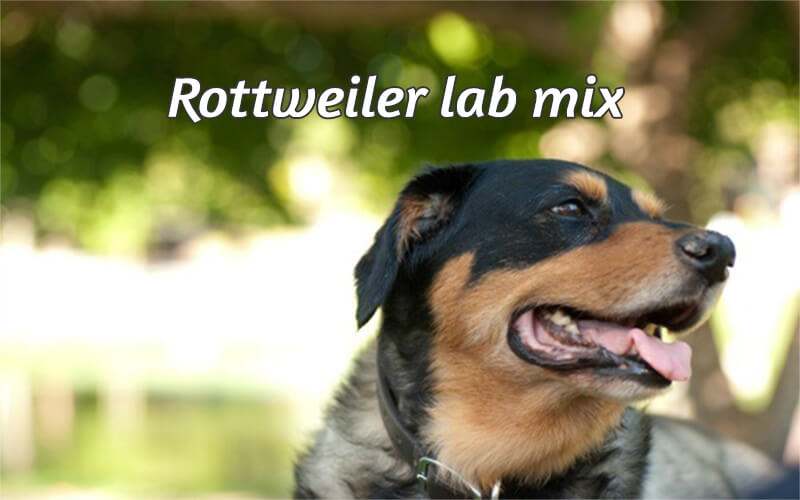 Rottweiler lab mix