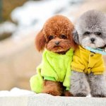 Toy_Poodles-are_friendly