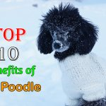 Top 10 benefits of having a Toy Poodle