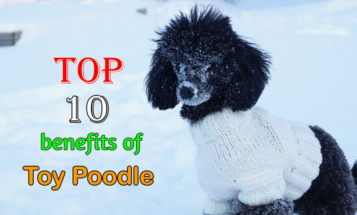 Toy poodle benefits