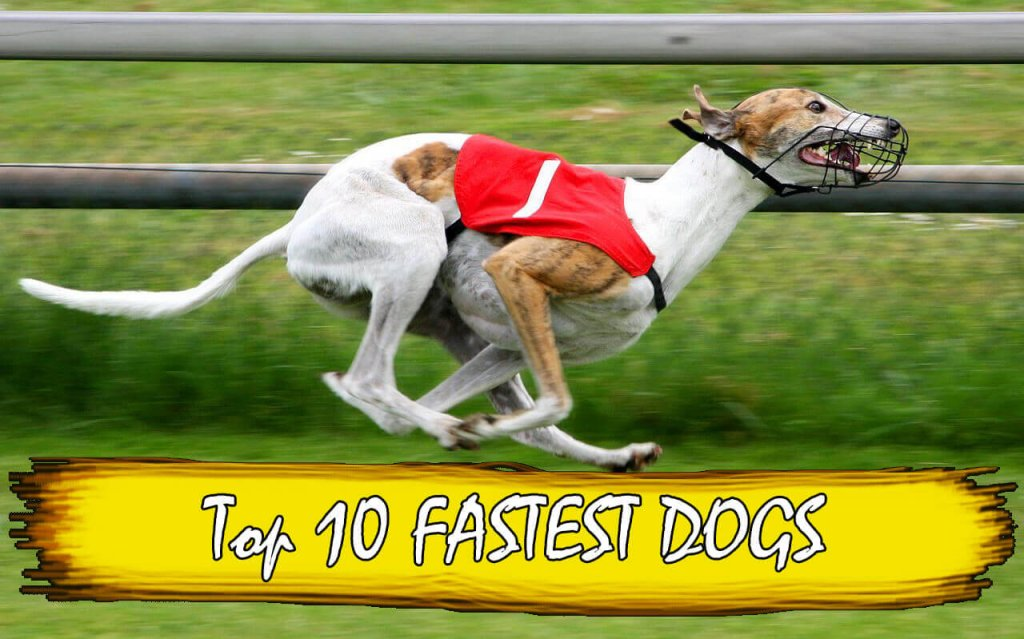 Top  Fastest Dog Breeds In The World
