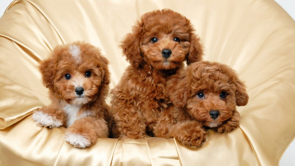 Top 10 Benefits Of Having A Toy Poodle Toy Poodle Benefits