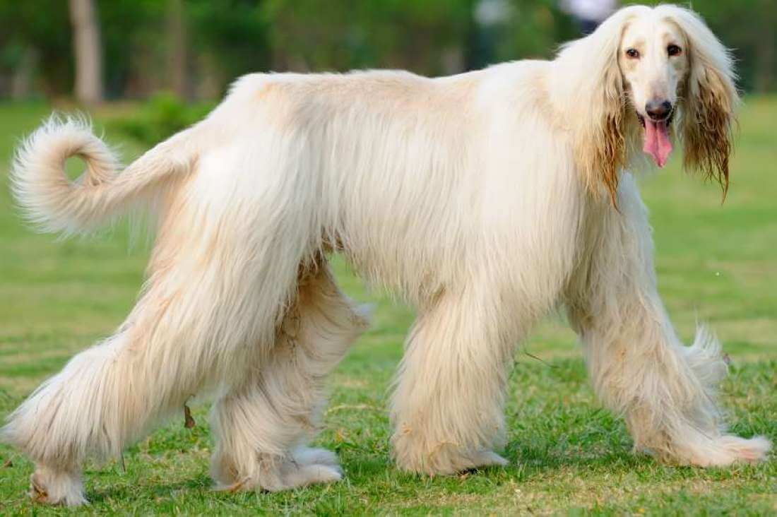 Top 10 Long Haired Dog Breeds In The World 2018 Dogmal Com