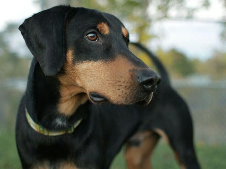 top 10 awesome doberman mix breeds  cross breeds