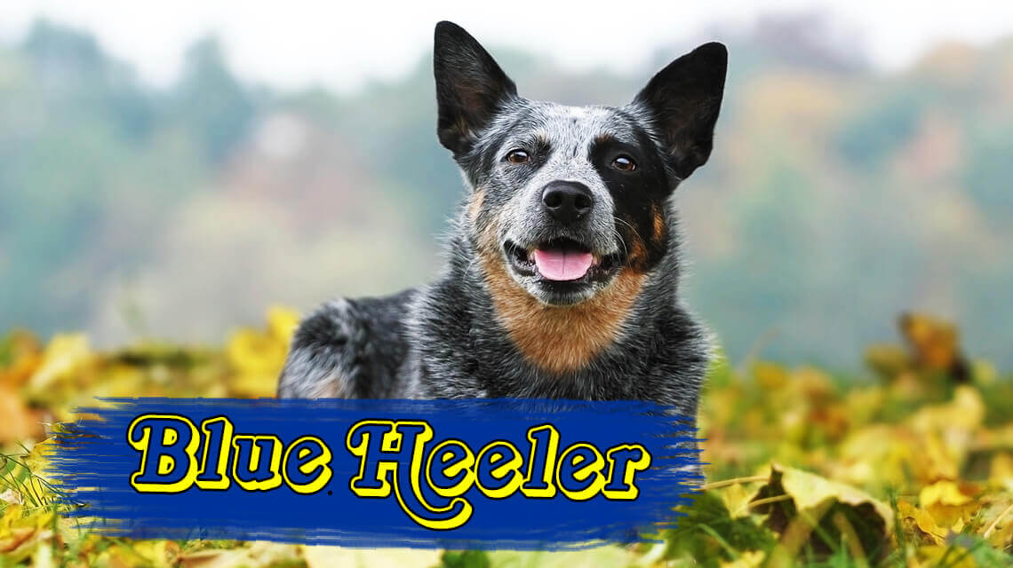 Blue Heelers For Sale : Blue heeler australian cattle dog personalities and pictures