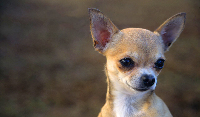 Chihuahua-benefits-low-maintenance