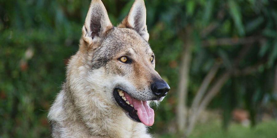 Czechoslovakian-Wolfdog-photo