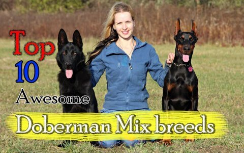 Doberman cross breeds
