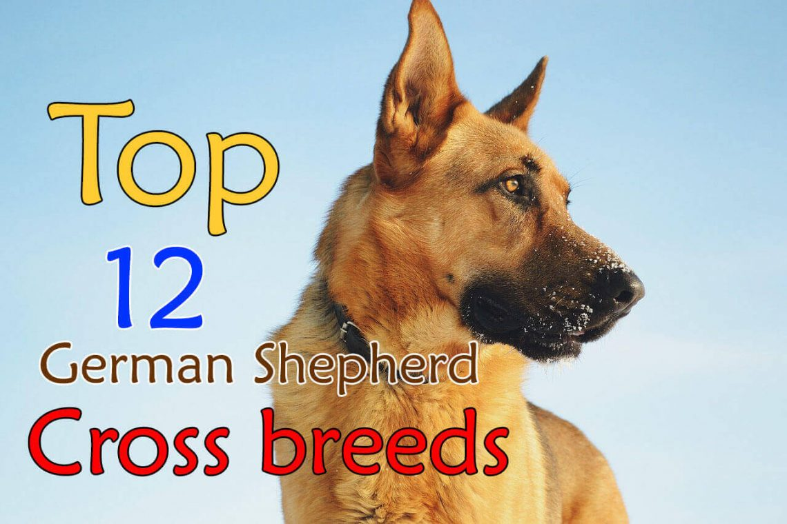 German shepherd cross breeds