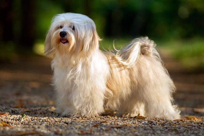Havanese-long-hair-dog
