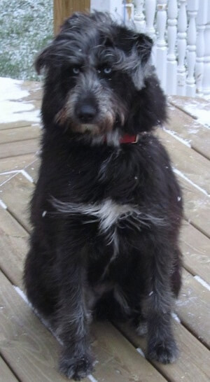 Husky poodle mix photo