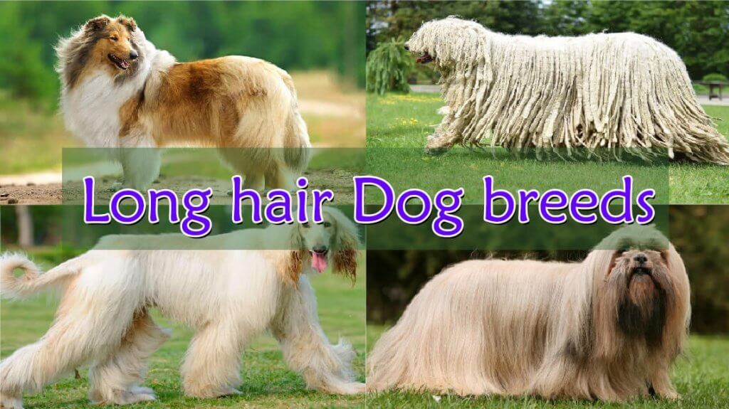 Most Stolen Dog Breed