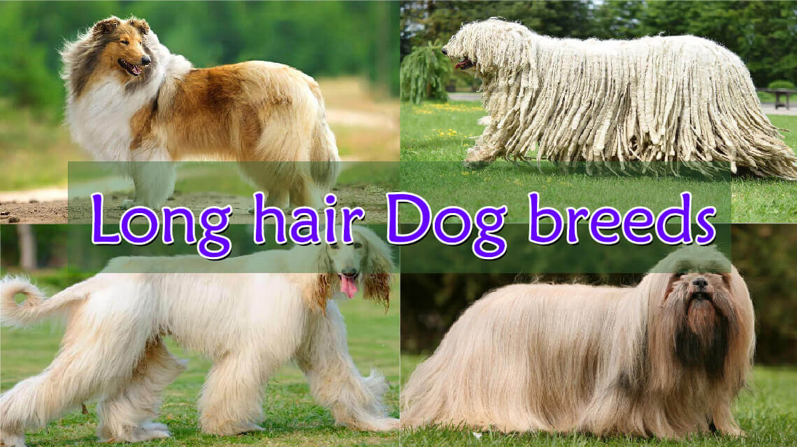 Long-hair-dog-breeds
