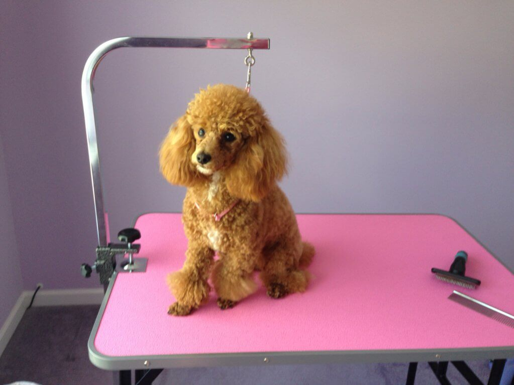 Siberpoo_grooming_table