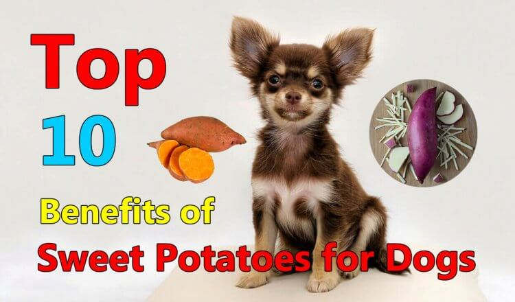 benefits of sweet potatoes for dogs