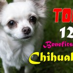Top 12 Benefits Of Having A Chihuahua