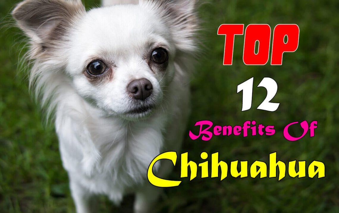 chihuahua benefits