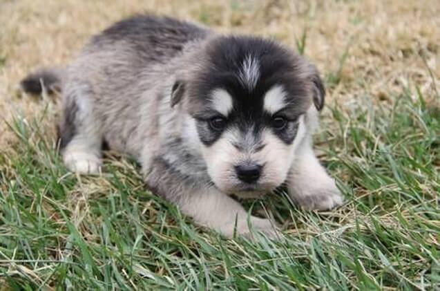 siberpoo-puppy