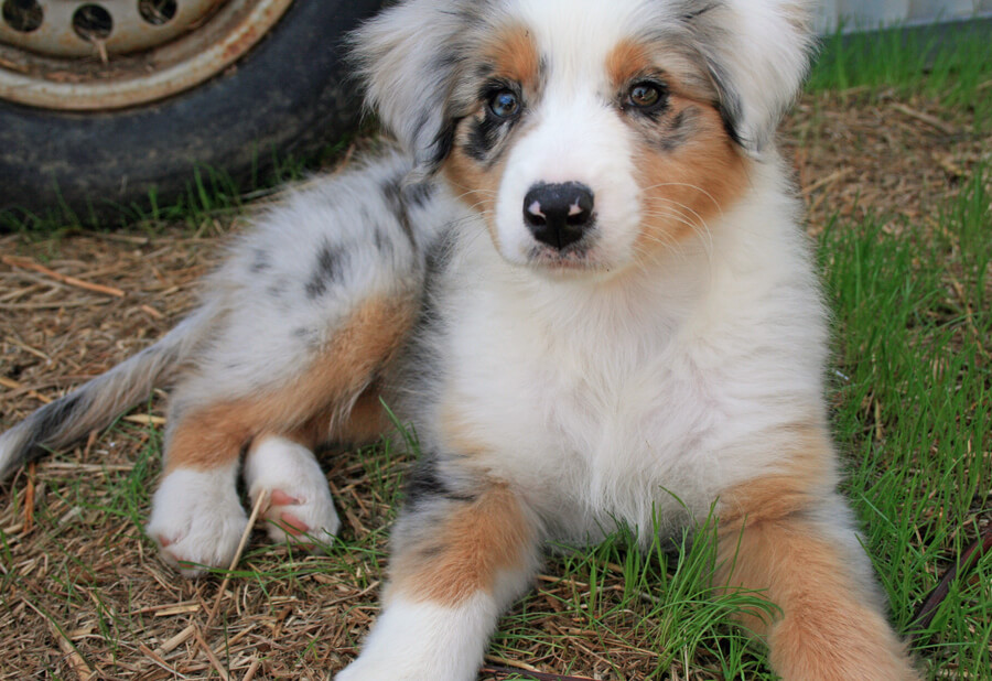 Blue Raccoon Dog Toy