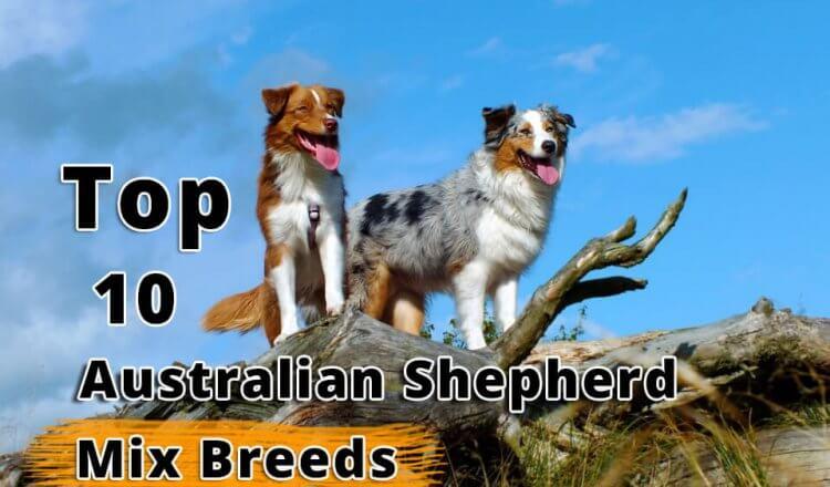 Australian Shepherd Mix Breeds