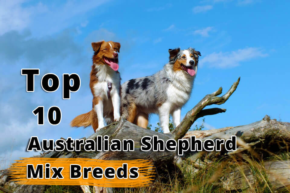 Top 10 Australian Shepherd Mix Breeds - Dogmal com