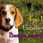 Top 15 Unbelievable Beagle cross breeds