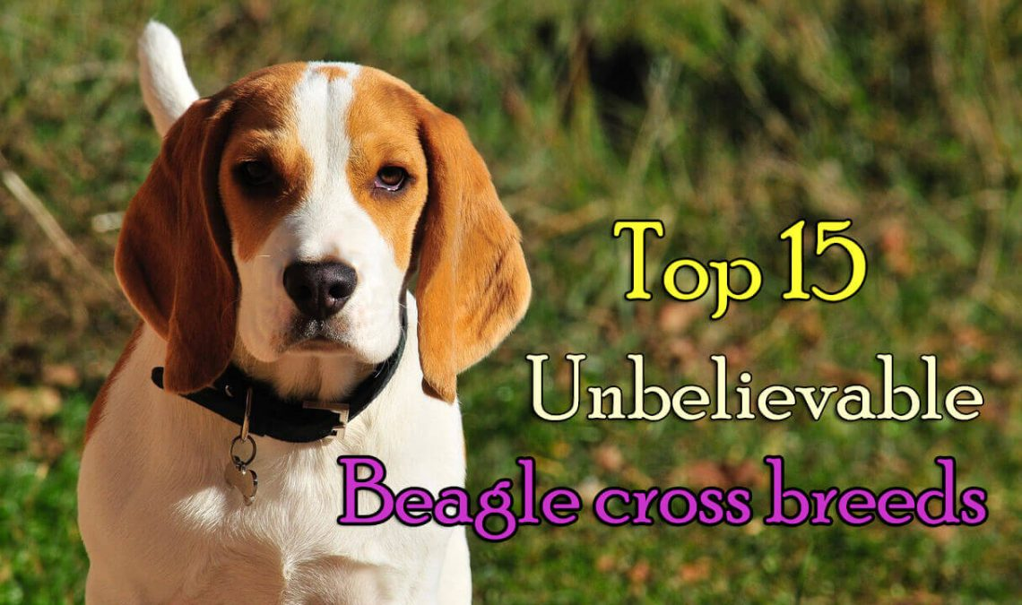 Beagle cross breeds