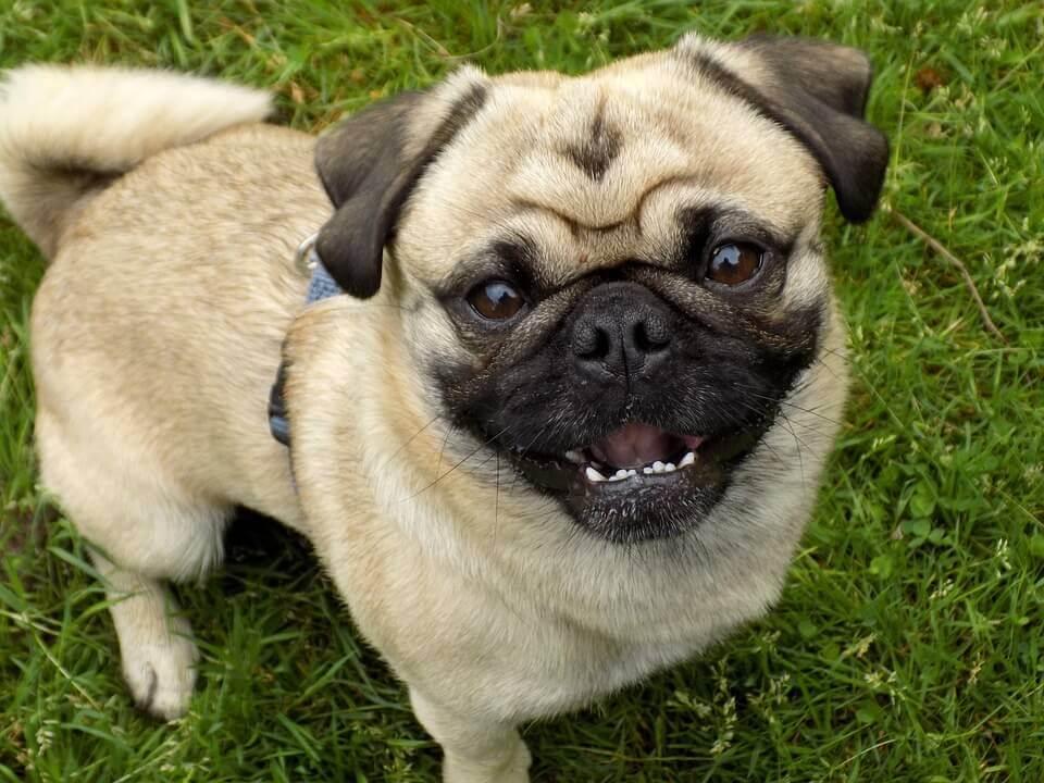 Funny pug photo