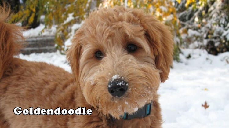 Goldendoodle Personality Appearances And Hd Photos