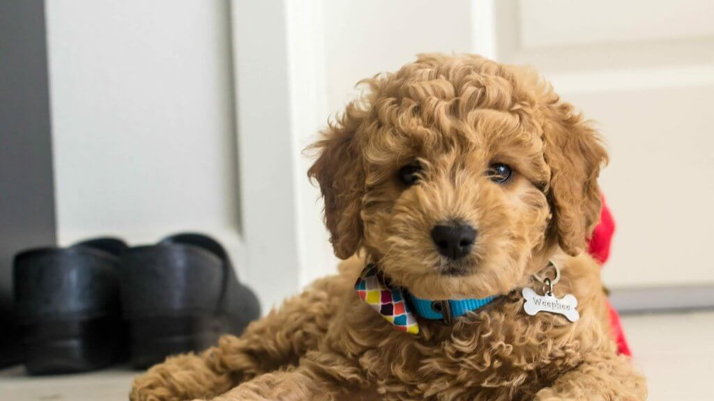 Goldendoodle-photo
