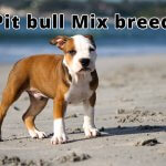 10 Finest Pit bull Mix breeds You Need To See Right Now