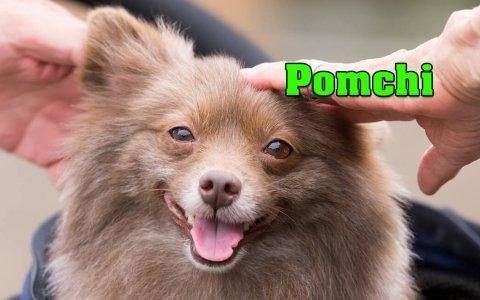 Pomchi