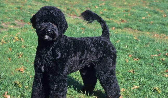 Torrid Zone Portuguese Water Dog Hypoallergenic ...