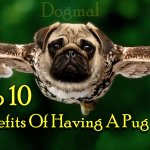 Top 10 Benefits Of Having A Pug dog