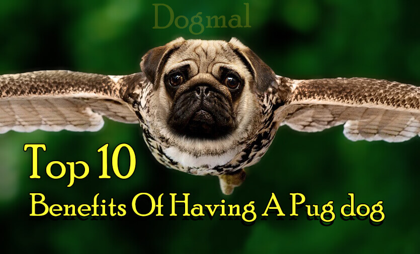 top 10 benefits of having a pug dog by