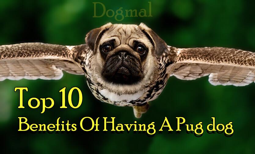 Pug_benefits