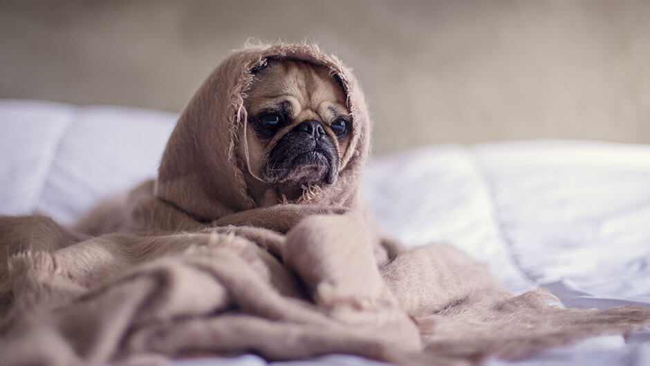 Pug_best_for_apartment_life