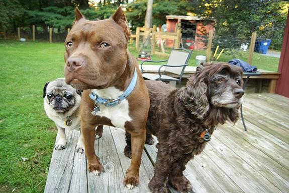 Pug pet friendly