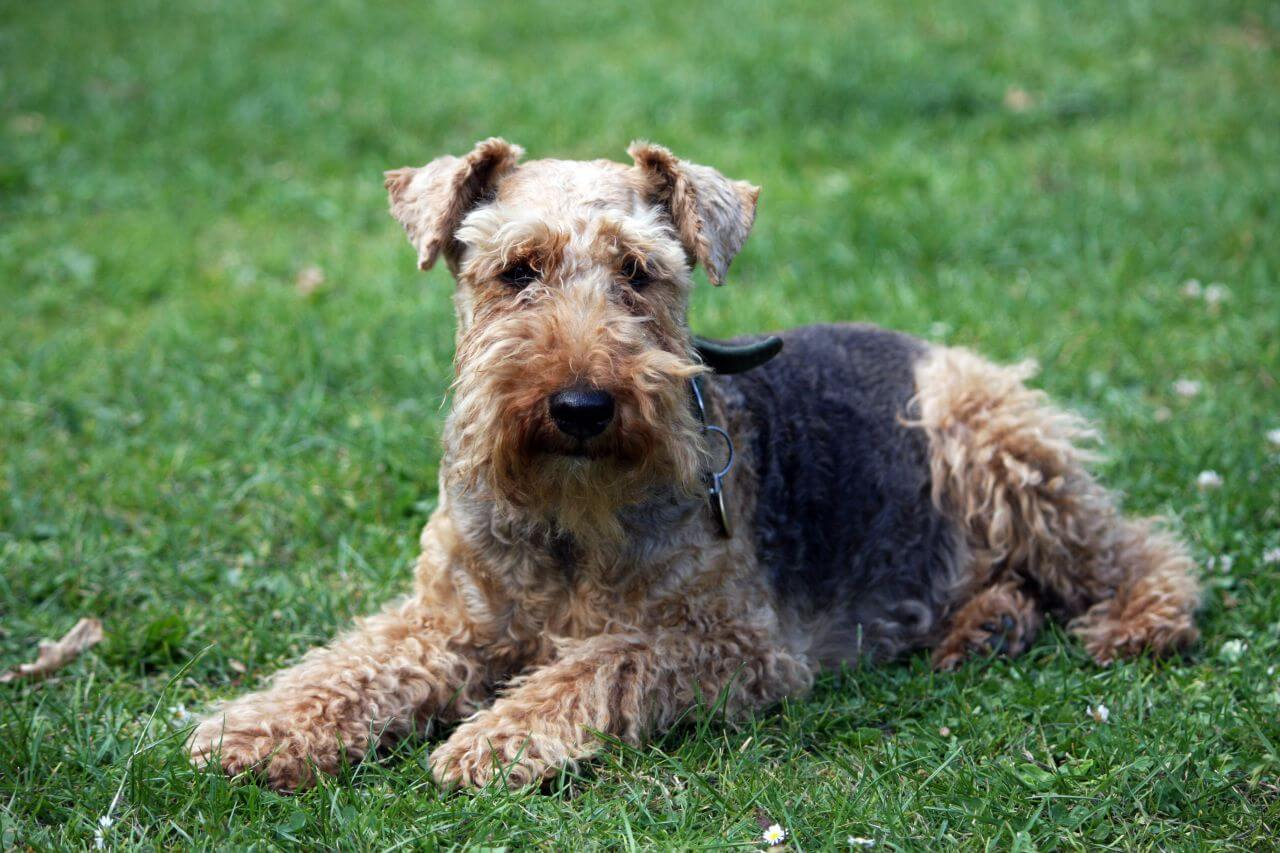 Welsh Terrier images
