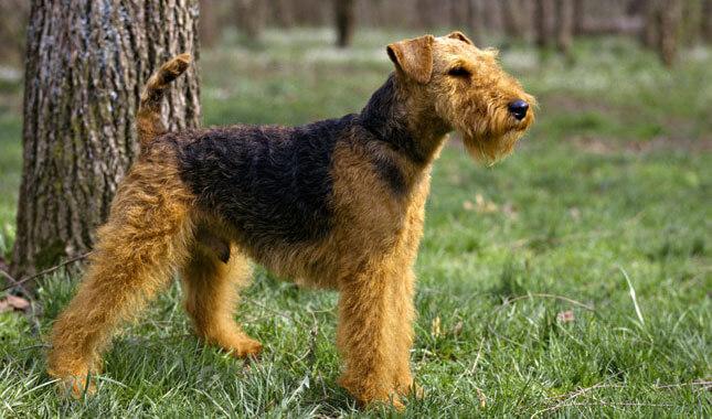Welsh_terrier_dog