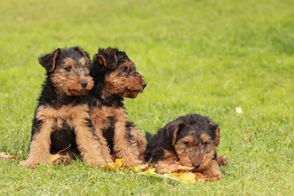 Welsh_terrier_puppies