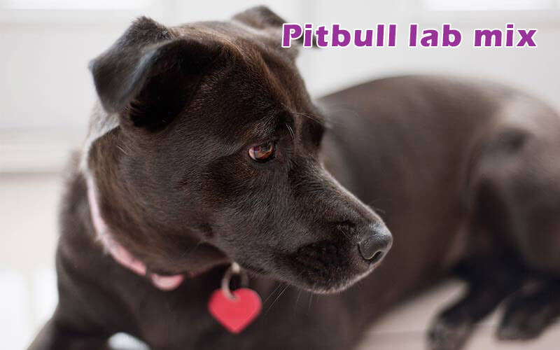 88+ Average Weight Of Female Pitbull