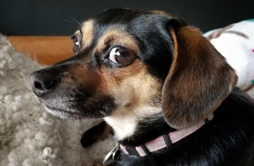 Beagle Chi