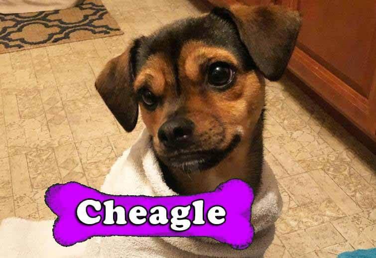 Cheagle