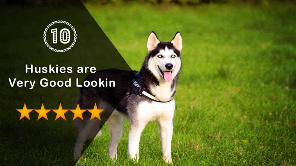 Huskies are very good Lookin