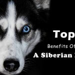 Top 10 Benefits Of Having A Siberian Husky