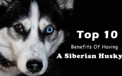 Siberian husky benefits