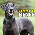 great dane benefits