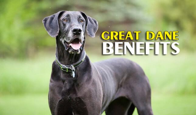 great dane benefits